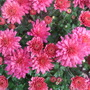 New Chrysanthemum 2