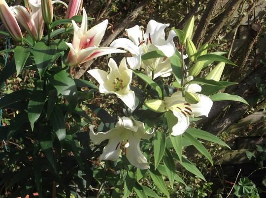 October lilies
