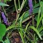 Liriope muscari (Lilyturf) Variegata