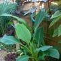 Musella lasiocarpa.. (Musella lasiocarpa (Chinese Yellow Banana))