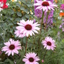 Echinacea2