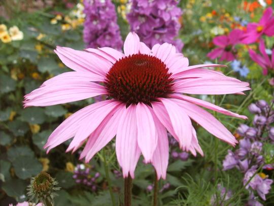 Echinacea - closup of flower (Echinacea 'Rubinstern')