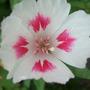 Godetia_flower