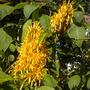 Justicia aurea (umbrosa) - Yellow Jacobinia (Justicia aurea (umbrosa) - Yellow Jacobinia)