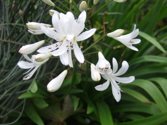 White Agapanthus (Agapanthus africanus)
