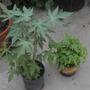 Red Caribbean and Thai Dwarf Papapaya Seedlings (Red Caribbean and Thai Dwarf Papapaya Seedlings)