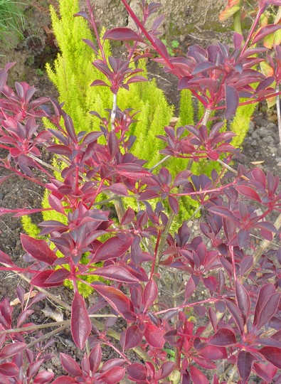 Erica arborea 'Albert's Gold' behind Autumnal Foliage