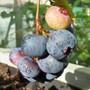 Some of the last Blueberries (vaccinium corymbosum)