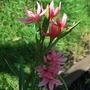 Schizostylis Pink.. (Schizostylis coccinea)