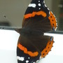 first Red Admiral butterfly seen this year.