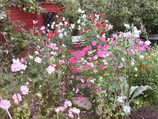 Cosmos and Sweetpea Path