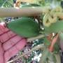 Papaya coming along. Slowly. (Carica papaya (Common Pawpaw))