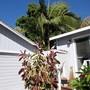 Ficus elastica (Assam Rubber)