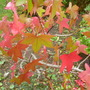 For Bathgate - Liquidambar