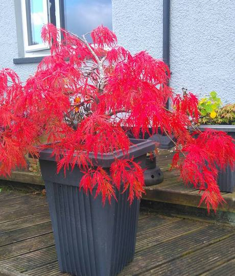 Brilliant red Acer