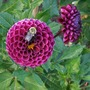 Dahlia with Bee