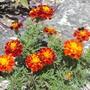 Bee Happy :-) (Marigold)