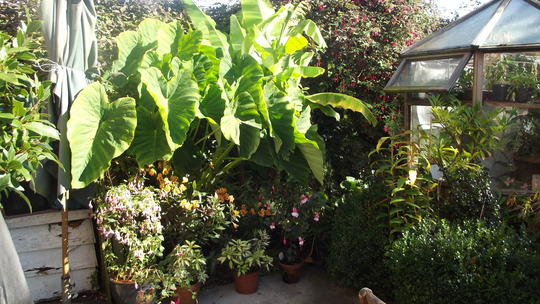 Colocasia esculenta & Banana Musa basjoo  (colocasia esculenta)