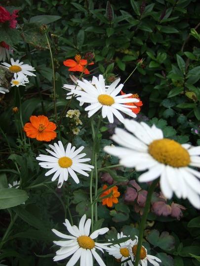 Leucanthemum and those orange Cosmos! (Leucanthemum x superbum (Shasta daisy))