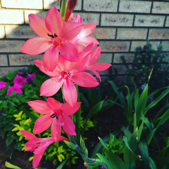 Watsonia - indigenous South African bulb