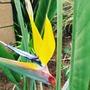Strelitzia - rare yellow