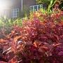 Callicarpa dichotoma (autumn foliage) - 2016 (Callicarpa dichotoma)