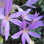 Colchicum autumnale (Colchicum autumnale (Autumn Crocus))