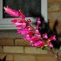 Salvia involucrata (Salvia involucrata (Roseleaf Sage))