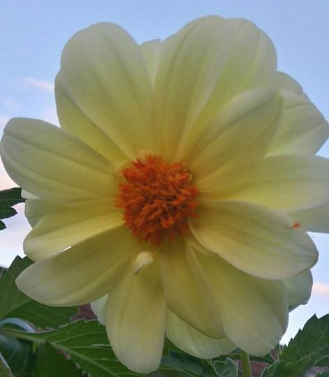 Lemon single Dahlia