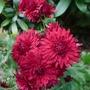 Chrysanthemum_red_2016