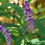 Salvia......Santa Barbara?  (Salvia leucantha (Mexican Bush Sage))