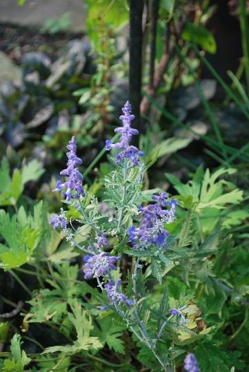 Perovoskia Lacey Blue.... (Perovskia atriplicifolia (Russian Sage))