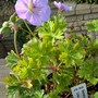 Geranium/Cranesbill Lilac Ice/sport from Rozanne