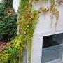 Virginia Creeper vine - Parthenocissus quinquefolia (Parthenocissus quinquefolia)