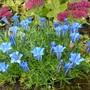 Blue Gentian (Gentiana sino-ornata (Gentian))