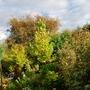 Liriodendron.... (Liriodendron tulipifera (Tulip tree))