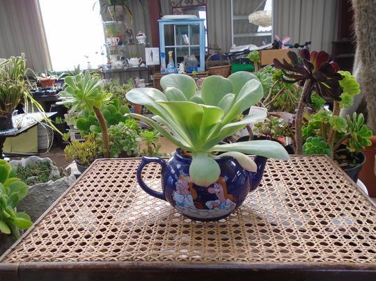 Aeonium cuneatum t pot