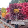 """Acers in """"our"""" Garden center parking --- for Sheila."""