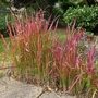 Imperata_cylindrica_red_baron_2016