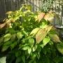 Calycanthus floridus (autumn foliage) - 2016 (Calycanthus floridus)