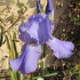 A scented Blue Bearded Iris  (Iris germainca)