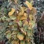 October leaves  Cercidiphyllum japonicum 'Rotfuchs'