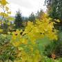 October leaves Ginkgo biloba  (Ginkgo biloba 'Magyar')