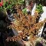 Coprosma repens (Mirror Plant) hybrid