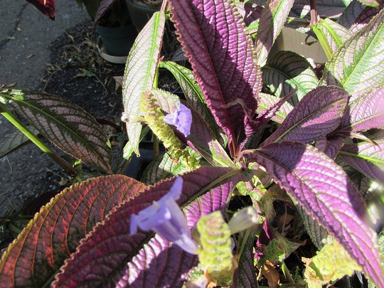 Persia up close and in flower.. (Strobilanthes dyerianus (Persian shield))