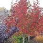 Liquidambar styraciflua Stella autumn colour