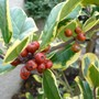 Red Holly Berries (Ilex x altaclerensis (Holly))