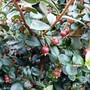 Chilean Guava (Ugni molinae)