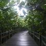 Manguezal (Rhizophora mangle (Candelilla))