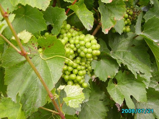 Grape Vineyard  (Grape Vineyard)